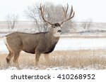 Mule Deer Buck In Snow Covered...