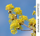 Small photo of Norway maple (Acer platanoides) flowers blossom in spring