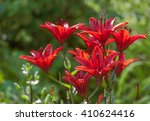 Red Lily In Summer Garden