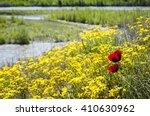 Wild Poppy Flowers In A Meadow...