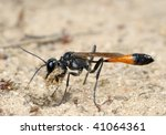 Small photo of The wasp Ammophila sabulosa with a bundle of sand.