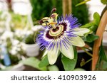 Passiflora Caerulea  The Blue...