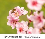 European Honey Bee On A Peach...