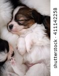small breed puppies papillon... | Shutterstock . vector #411142258