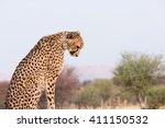 Cheetah  Acinonyx Jubatus ...