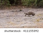leopard tortoise  stigmochelys... | Shutterstock . vector #411155392