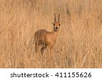 male steenbok  raphicerus... | Shutterstock . vector #411155626
