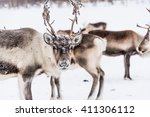 Stock photo reindeer herd lapland northern finland 411306112