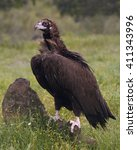 Small photo of Black vulture (Aegypius monachus) standing on a rock in its habitat
