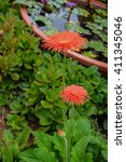 Small photo of Gerbera , Barberton daisy.African Daisy , Transvaal Daisy.Gerbera jamesonii.