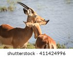 two impala nuzzling | Shutterstock . vector #411424996