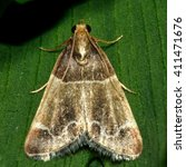 Small photo of Meal moth (Pyralis farinalis) micro moth. Small Pyralid moth, an insect in the family Pyralidae, in the order Lepidoptera, at rest