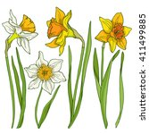 Daffodils  Colored Vector...
