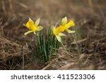 Daffodils Blooming In Spring O...