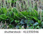 green plantain plants in growth ...   Shutterstock . vector #411550546
