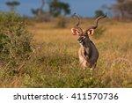 greater kudu  tragelaphus... | Shutterstock . vector #411570736