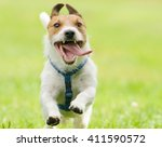 Stock photo adorable funny dog running with tongue out of open mouth 411590572