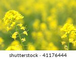 Rapeseed Flowers At Beautiful...