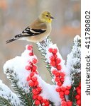 Small photo of Winter American Goldfinch
