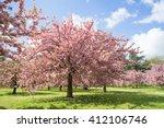 Cherry Blossom  Prunus ...
