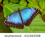 Peleides Blue Morpho On Leaf
