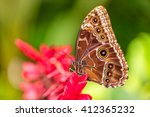 Peleides Blue Morpho On Flower...