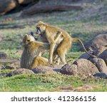 Male Baboon  Papio Anubis ...