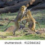Male Baboons  Papio Anubis ...