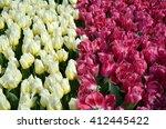 beautiful of tulips in gardens... | Shutterstock . vector #412445422