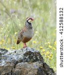 Small photo of Red-legged partridge (Alectoris rufa) standing on a rock in its habitat