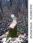 Tree After Beaver's Job. Autum...