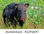javelina  aka collared peccary | Shutterstock . vector #41292697