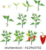 pepper growing stage | Shutterstock .eps vector #412963702