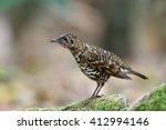 Small photo of Bird (Abbott's Babbler) , Thailand