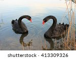 Two Romantic Black Swan
