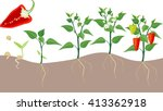 pepper growing stage | Shutterstock .eps vector #413362918