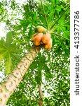 papaya in thailand | Shutterstock . vector #413377786