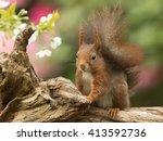 Red Squirrel   Sciurus Vulgari...