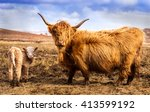 Scottish Highland Cow And Calf...