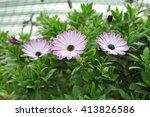 Three Pink Dahlia Flowers