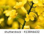 Field Of Mustard Seed Flowers...