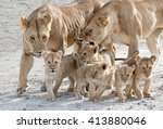 Mother Lionesses Herding Cubs ...
