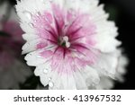 Beautiful Dianthus Flowers Wit...
