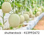 Cantaloup Melon Growing In ...