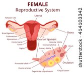 female reproductive system  the ... | Shutterstock .eps vector #414103342