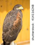 Small photo of Harris's Hawk, Parabuteo unicinctus, is popular with hawkers