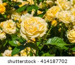 Stock photo beautiful yellow rose in a garden on sunny day 414187702