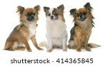 Three Little Chihuahua In Fron...