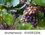 Branches Of Red Wine Grapes...