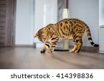 Stock photo funny beautiful cute bengal cat playing with a toy on the floor 414398836